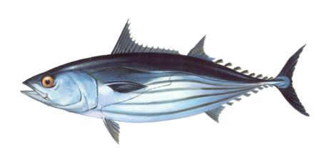 Atún de almadraba de Zahara sarda alistado albacora ilustración