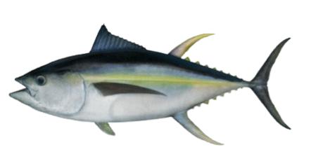 Atún de almadraba de Zahara atún amarillo ilustración